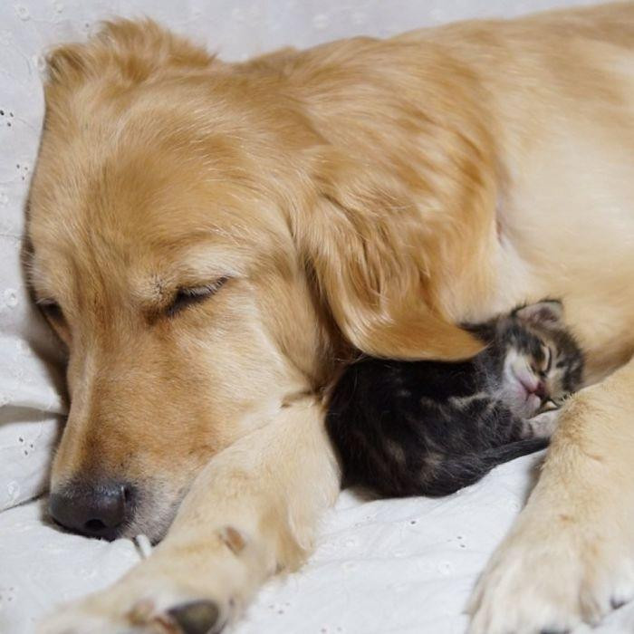 12. Golden Retriever And An Abandoned Kitty