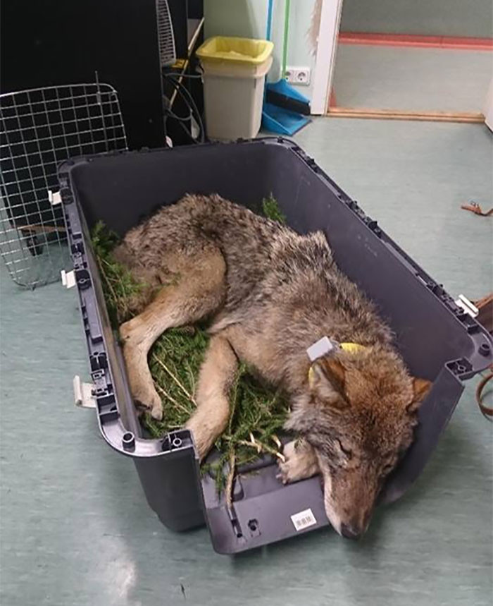 "The EUPA told the media, ""We are so happy for the outcome of the story, and wish to thank all the participants – especially these men who rescued the wolf and the doctors of the clinic who were not afraid to treat and nurture the wild animal."""