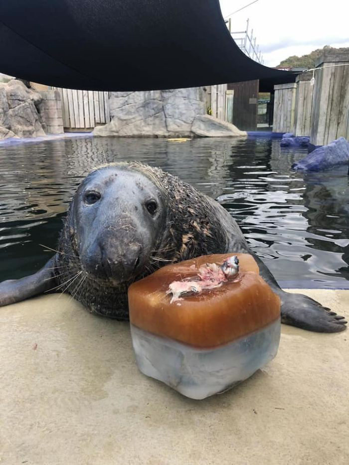 Now, at the ripe old age of 31, Yulelogs is a healthy, happy, and energetic seal, completely adored by everyone at the sanctuary.
