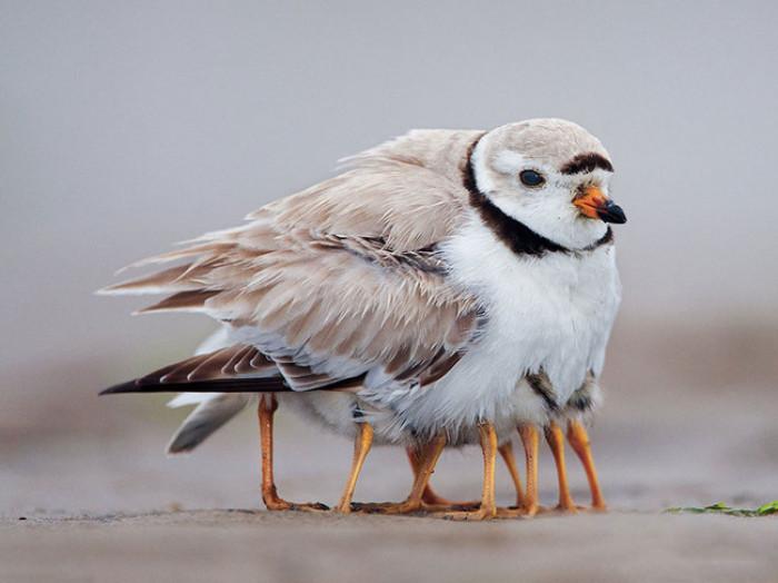 5. Baby birdies hiding in mama's feathers