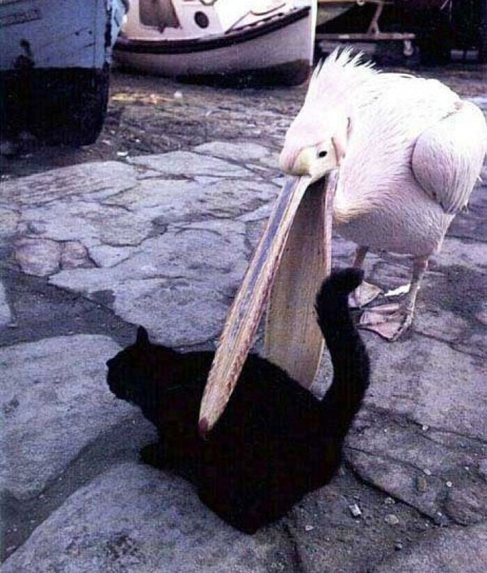 THIS PELICAN IS TRYING TO EAT A CAT WHAT