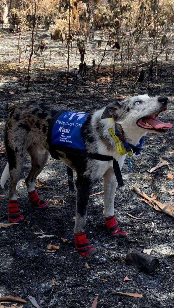 #3 Bear the koala detection dog finds injured animals