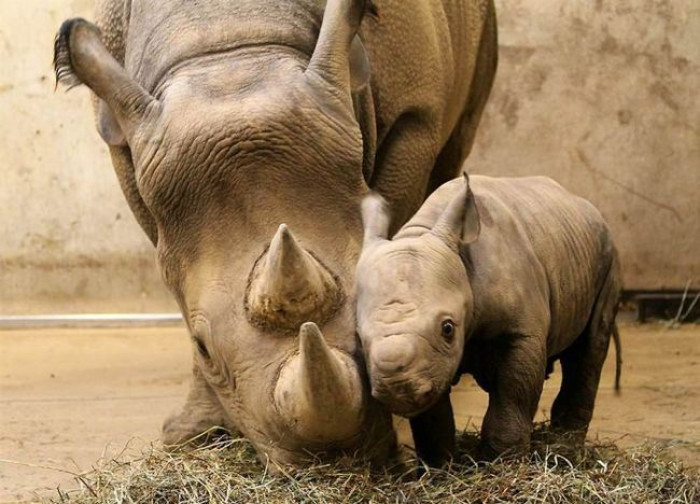 4. Baby and mama endangered black Rhinoceros