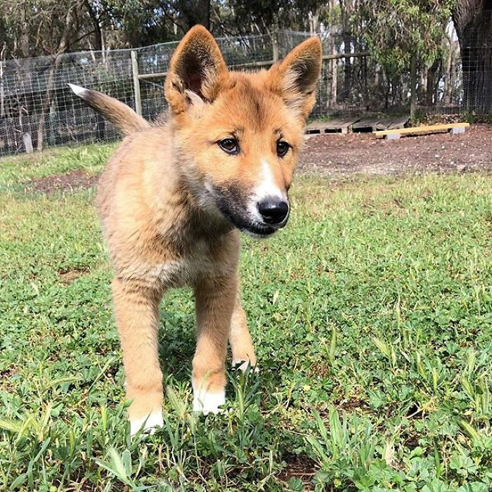 When Dingo Discovery Foundation heard about the pup, they got in touch with Rebekah, who was taking care of Wandi.