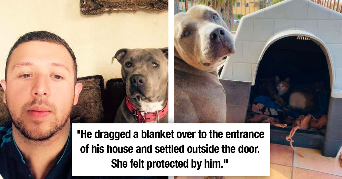 Pitbull Allows Pregnant Stray Cat To Have Babies In His Doghouse