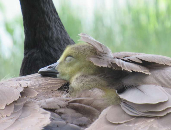 """""""They're so cute when they're little — like little tennis balls with legs,"""" Mike said. """"So I started taking pictures of the goslings while I was waiting for the beavers to come around."""""""