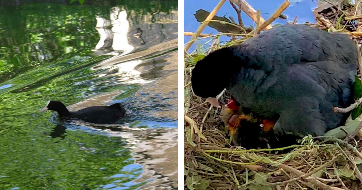 Wild Bird Building A Nest Gladly Accepts Help From Kind Humans