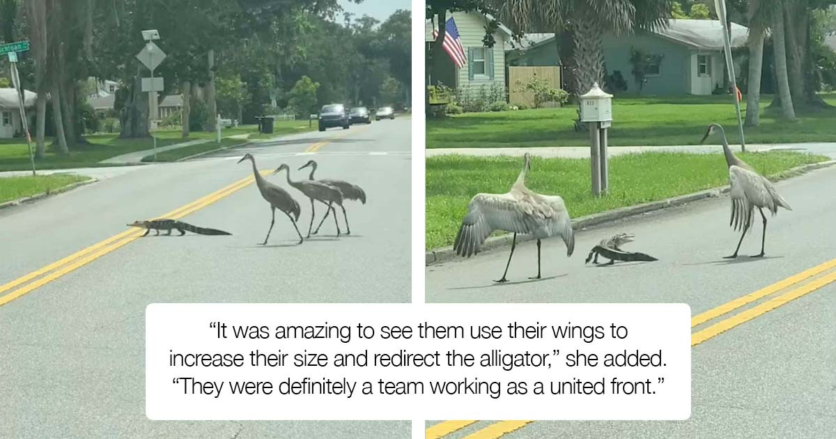 Cranes With Great Civic Sense Help A Baby Alligator Cross The Road