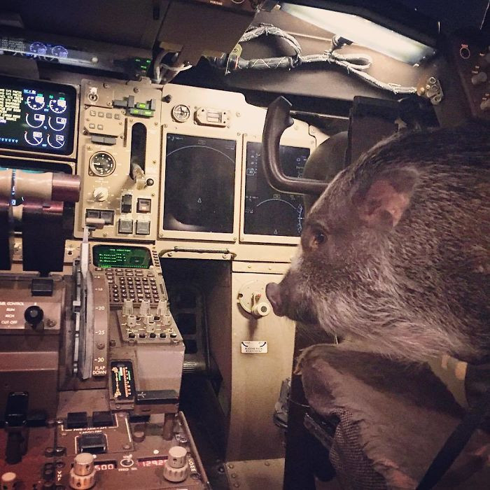 16. Emotional support pig hanging out in the Cockpit