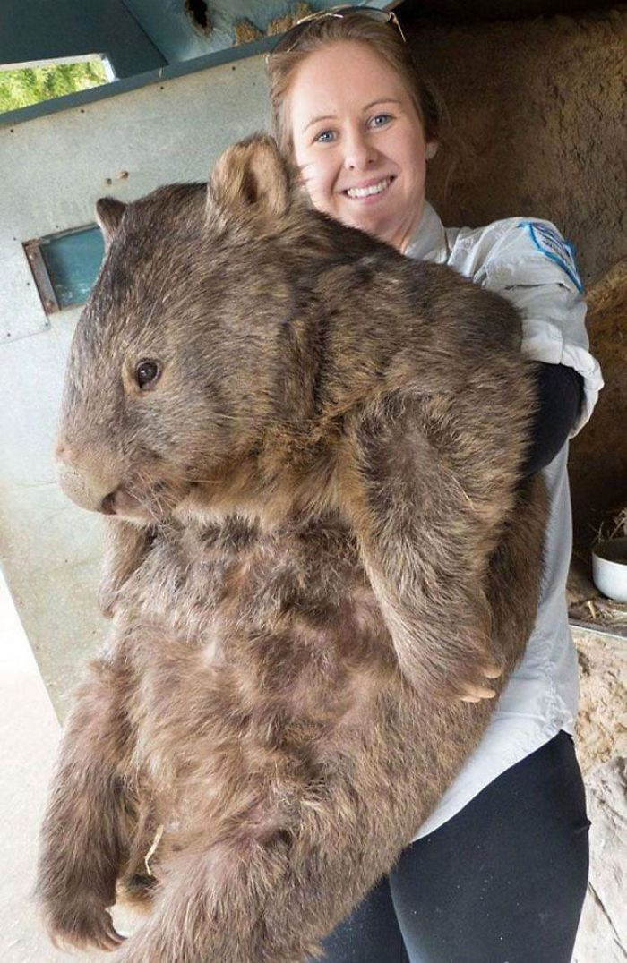 Patrick is the oldest and largest wombat in the world