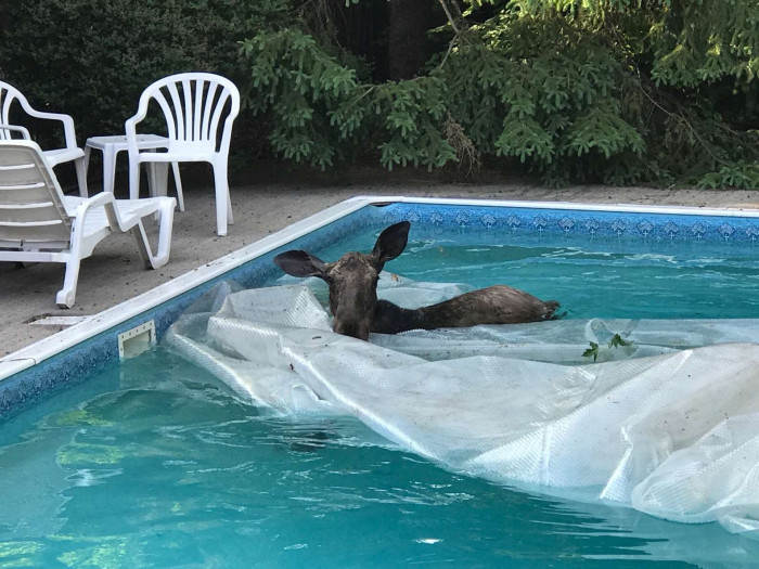 """""""We've lived in this house for 40 years, and this is the first time I've seen a moose this close to the city,"""" Koch said."""