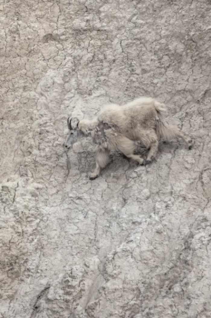#13 This mountain goat whose coat fades perfectly into the rock face.