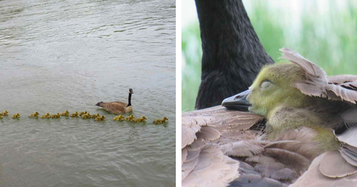 Mother Goose Looks After 47 Babies And Keeps Them Safe All By Herself