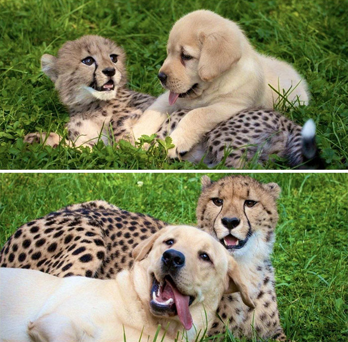 38. Cheetah And Doggo Stayed Best Friends From The Start!