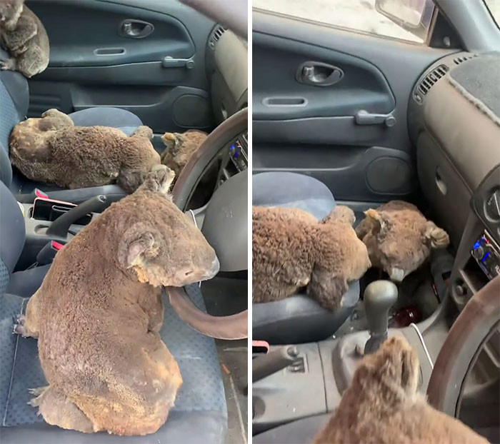 #1 Teenagers have a car full of Koalas that they've saved