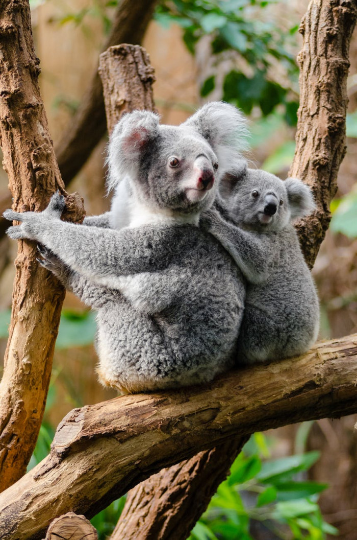 The Australian Koala Foundation has declared Koalas to be functionally extinct.