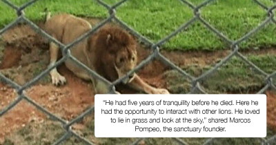 Excited Lion Rescued From Circus Feeling Grass For The First Time In His Entire Life After Being Caged For 13 Years