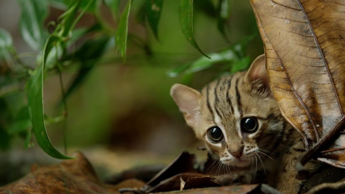 The rusty-spotted cat lives predominantly in the forests of Sri Lanka and India, sighted occasionally in Terai and Nepal.