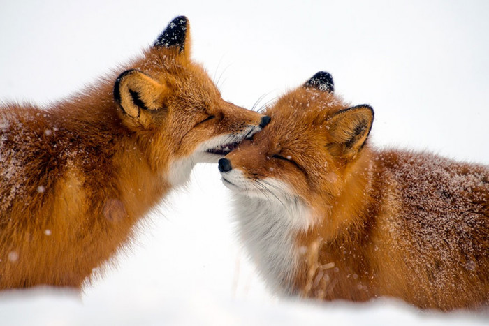 Foxes kissing.