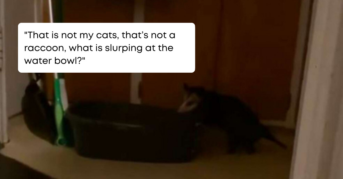 Possum Aspiring To Be The Cat Sneaks Into A House In The Middle Of The Night