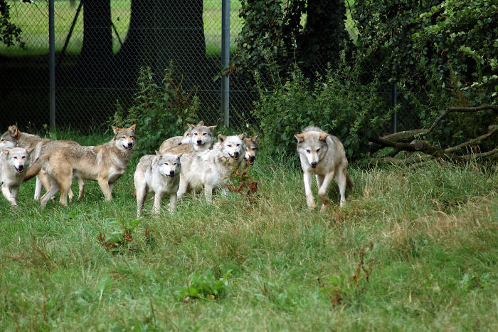#35 Wolves Have Babysitters. Members Of The Pack Watch Over The Young When The Parents Go Hunting