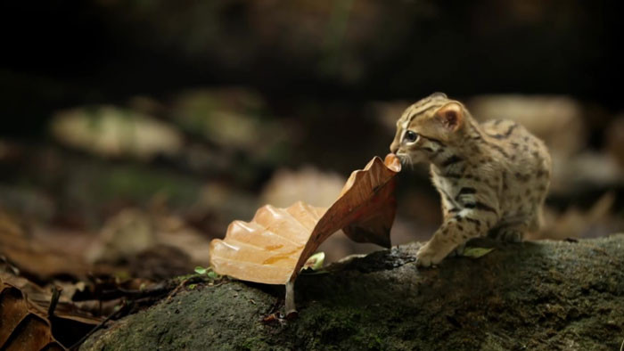 The BBC recently aired a preview of the latest episode of Big Cats, which features a near-adult rusty-spotted cat roaming the woods and searching for food in Sri Lanka.