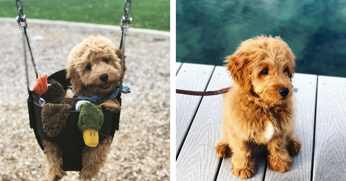 These Adorable Pictures Of Doodles Will Make You Want To Adopt a Dog ASAP
