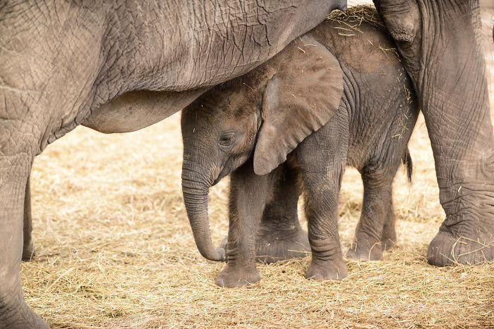 #4 When A Baby Elephant Is Born, Other Mothers In The Social Group Will Trumpet To Celebrate Or Announce The Baby's Arrival