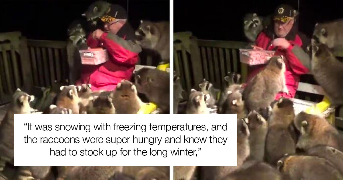 Man Feeds A Pack Of Raccoons Every Night To Honor His Late Wife's Wish