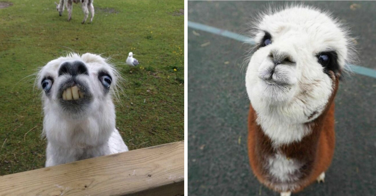 30 Adorable Photos Of Friendly Alpacas That Will Brighten Up Your Day