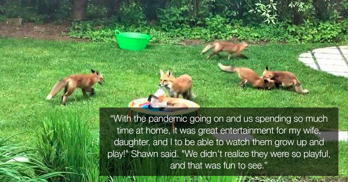 Adorable Family Of Foxes Keeps Visiting A Man's Backyard To Play