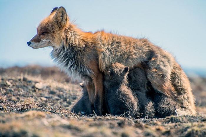 Mother nursing her cubs.