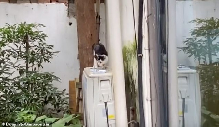 The popular video comes after footage of Juno 'The Angry Cat' from the U.S. also gained a massive following on social media.