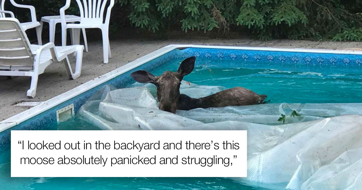 Couple Woke Up To A Real Life Moose Stuck In Their Swimming Pool