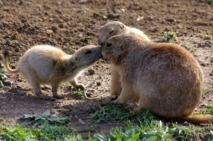 #31 Prairie Dogs Say Hello By Kissing