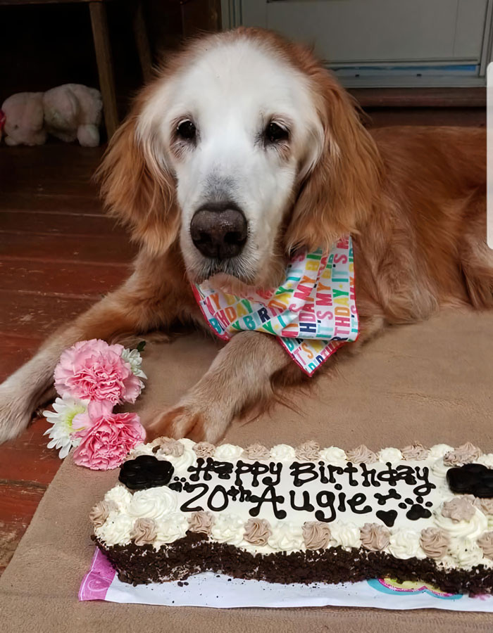 Celebrating with her humans and her dog siblihngs siblings Sherman, Belle, and Bruce, Auggie's birthday was made all the more special with a huge banner printed out and a delicious looking carrot cake.