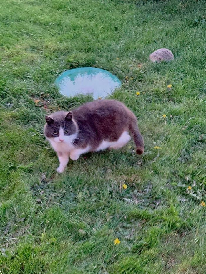 #29 Our Resident Stray With A Hedgehog Friend Visiting At Dusk