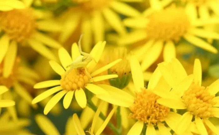 #8 This yellow crab spider skillfully hunting its prey by blending into these flowers.