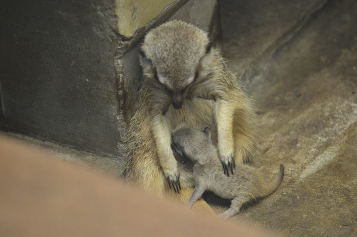 Meerkats reach sexual maturity at around two-years-old and can produce one to four pups per litter. Pups will generally leave the burrow at around two or three-weeks-old.