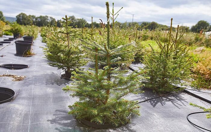 The company offers five dimensions of Christmas trees, each named after London's smallest to biggest areas