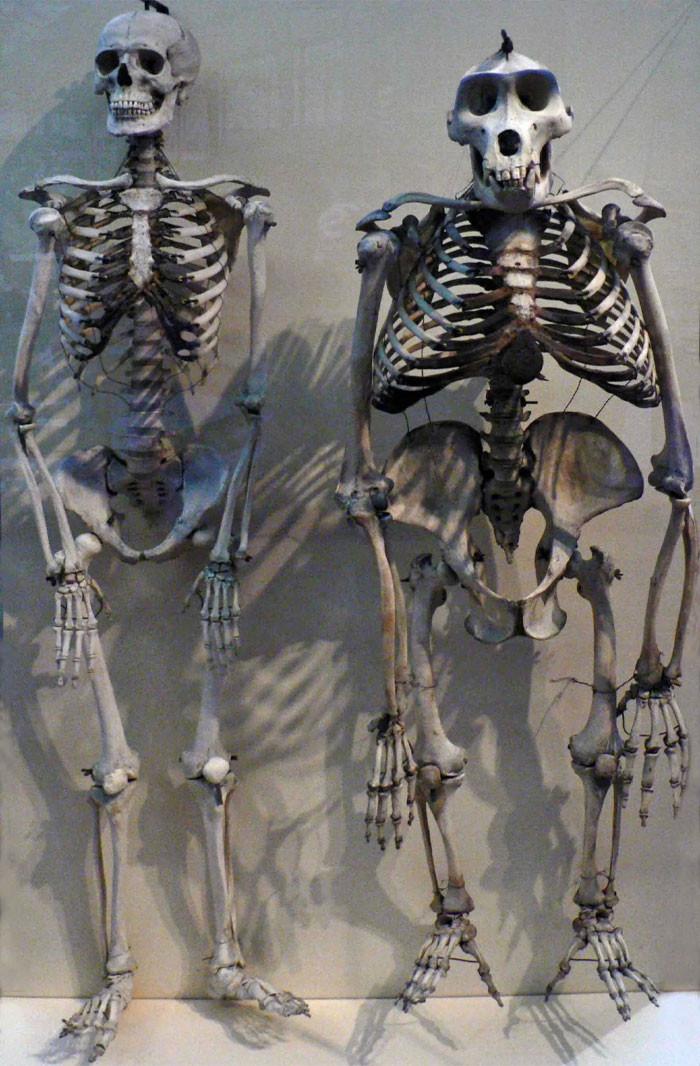 Human Skeleton Compared To Gorilla Skeleton