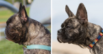 """Breeder Is Re-engineering The Faces Of French Bulldogs To Ensure They Are Bred """"For Health, Not Show"""""""