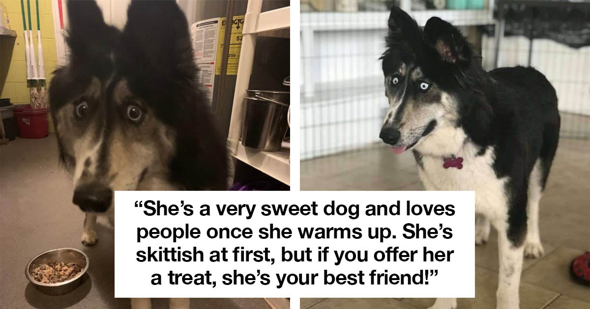 """Husky Rejected For Being """"Funny Looking"""" Searching For Her Forever Home"""