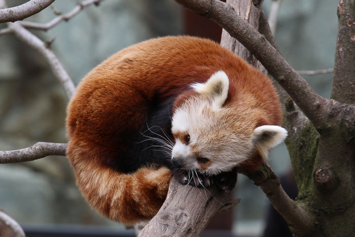 #30 Red Pandas Use Their Fluffy Tails As Blankets To Keep Warm When They Sleep