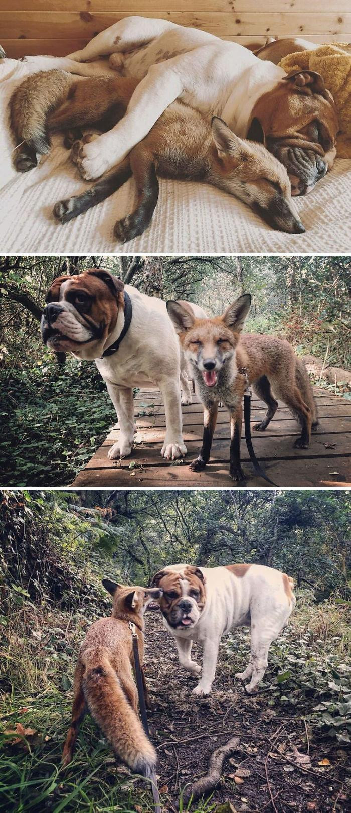 """2. Rescue Fox And A Bulldog Become Inseparable And Form A Real-Life """"The Fox And The Hound"""" Friendship"""