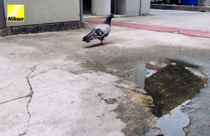 The only pigeon who survived