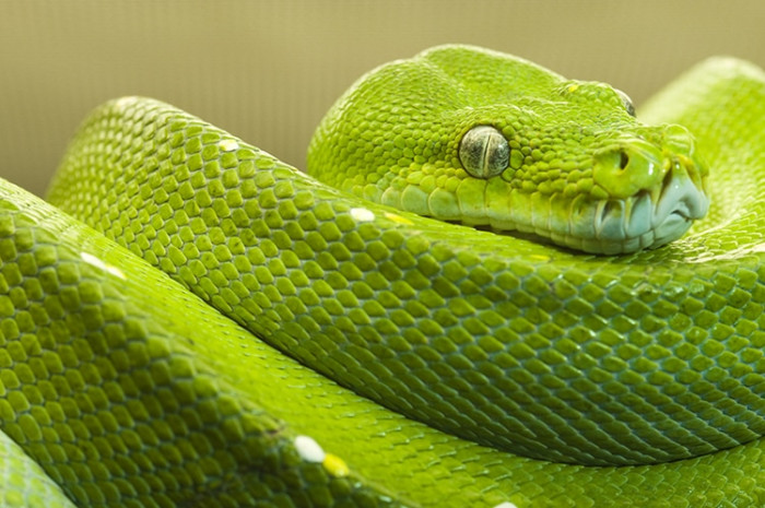 Australia is home to 20 of the 25 most venomous snakes in the world.