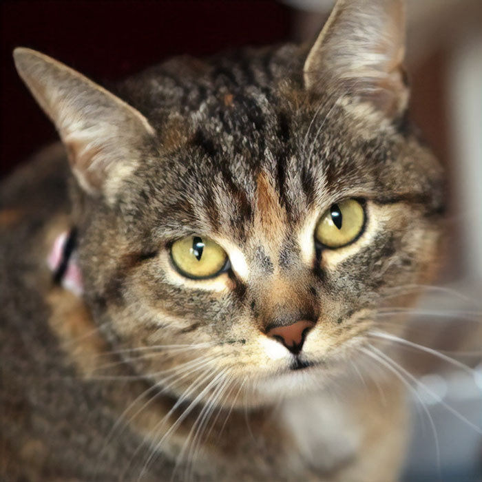 #15 Missy, A Cat Who Sensed Cancerous Cells In Her Owner's Body