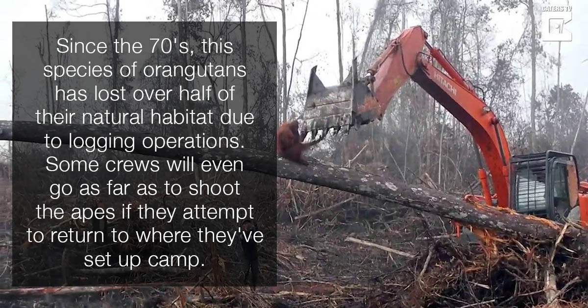 Heart-Shattering Video Of Orangutan's Attempt To Stop Excavator From Decimating Home In The Jungle