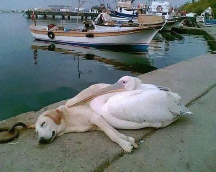 5. A Pelican Befriended A Stray Dog Who Was Often Spotted Hanging Out All Alone Along The Boat Docks. The Man Who Photographed This Has Adopted Him But Brings Him Back Every Day To See His Friend, Petey The Pelican